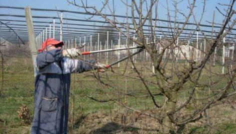 Si potano gli alberi da frutto