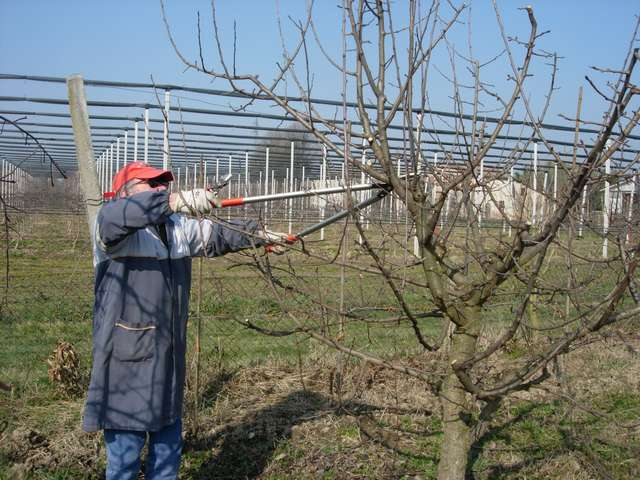 Si potano gli alberi da frutto domenico sportelli for Quando piantare alberi da frutto