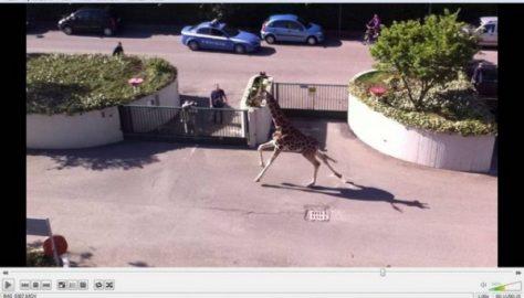 Giraffa in giro per la città