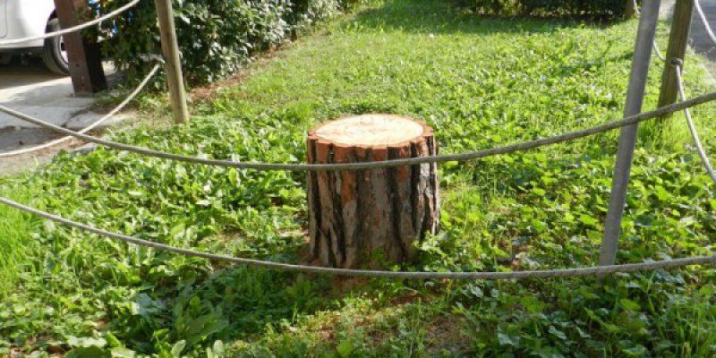 Uno dei pini abbattuti nel parco dell