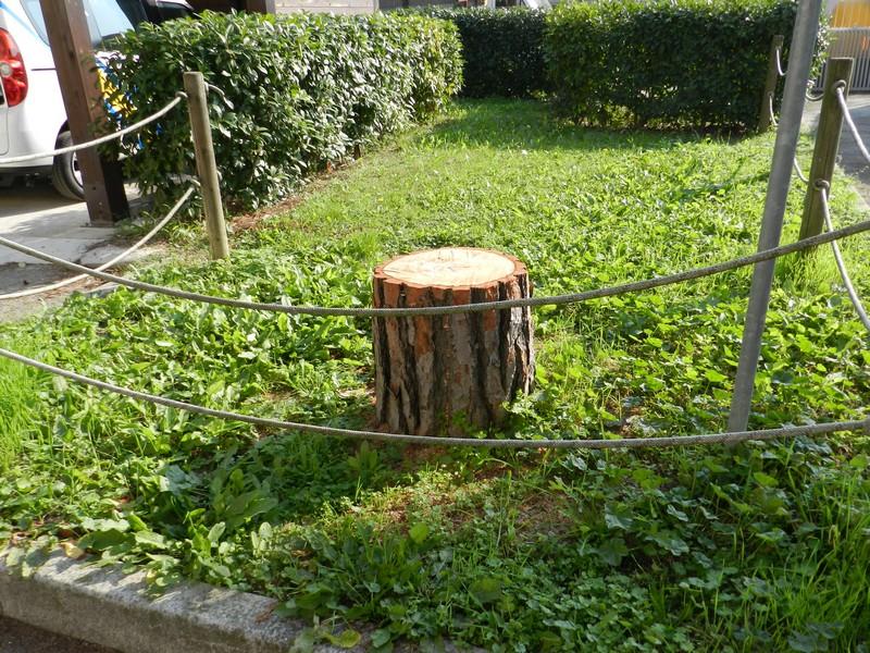 Uno dei pini abbattuti nel parco dell'ex ospedale (non ancora sostituito).