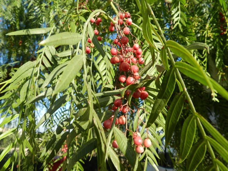 Puglia - L'albero del pepe