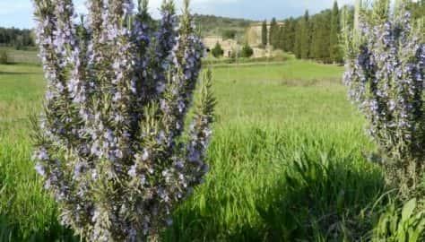 Valdichiana - Rosmarino in fiore.